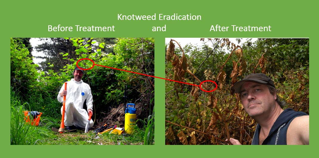 how to get rid of knotweed